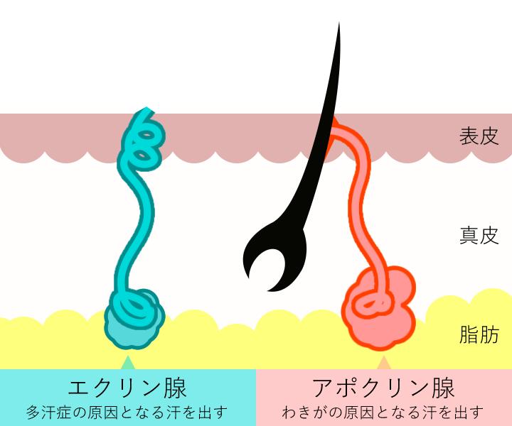 2つの汗腺のイメージ(照射前)