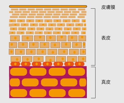日焼け前の肌断面(イメージ)