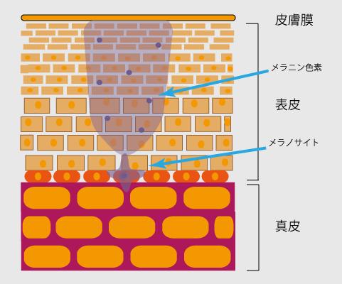 日焼け後の肌の断面(イメージ)